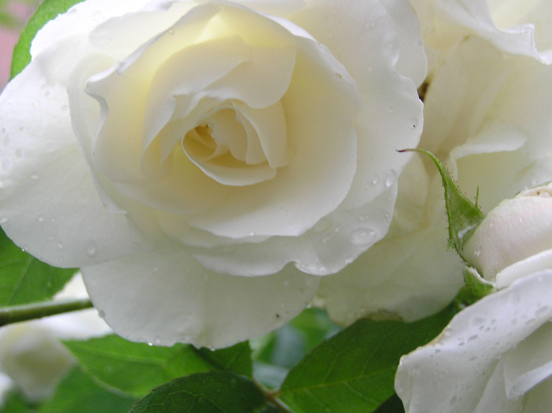 White rose wallpapers 2288x1712 white rose flower wallpaper download white mightylinksfo