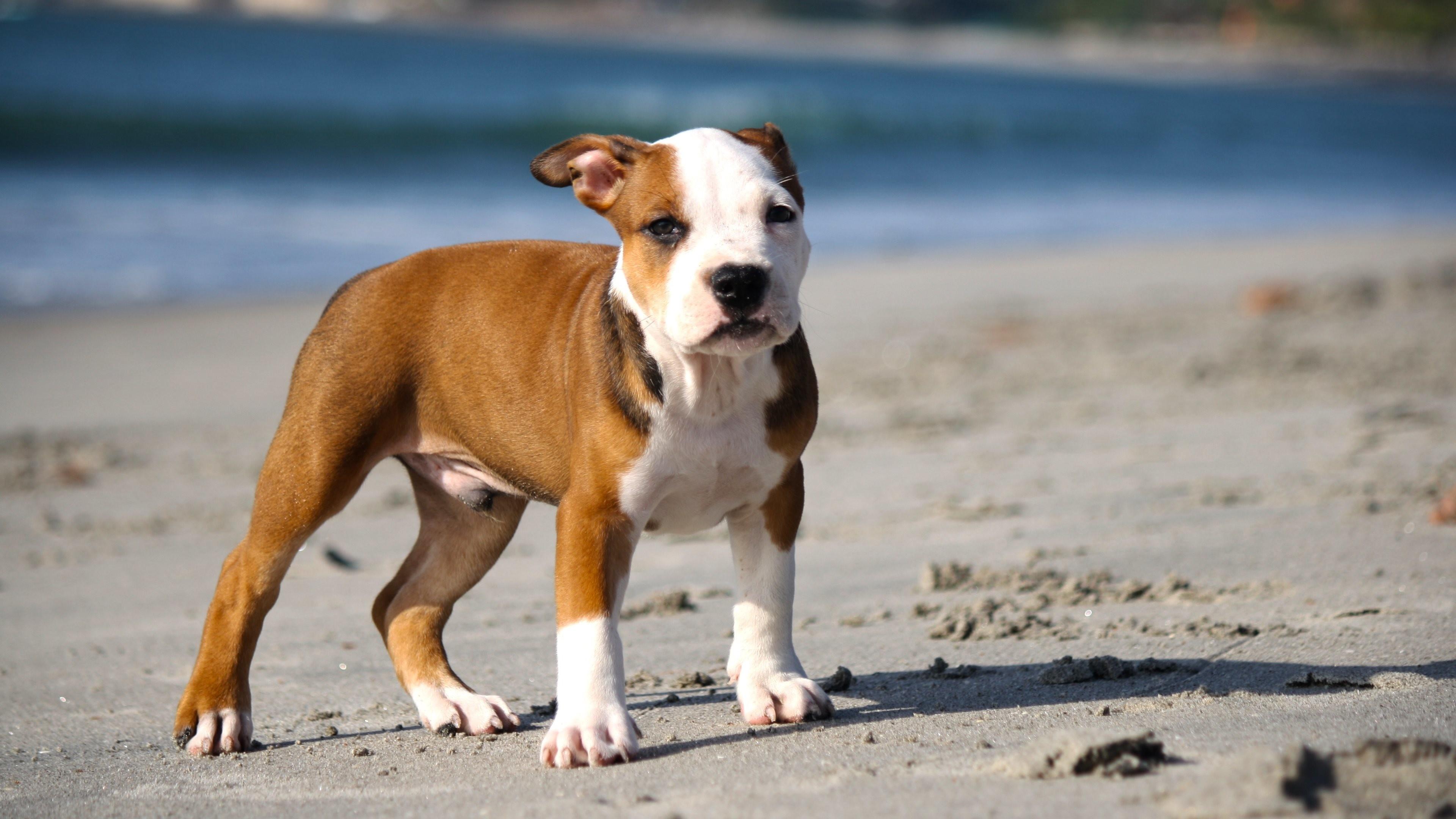 Pitbull Dog Quotes Pitbull Dog Wallpaper ·①