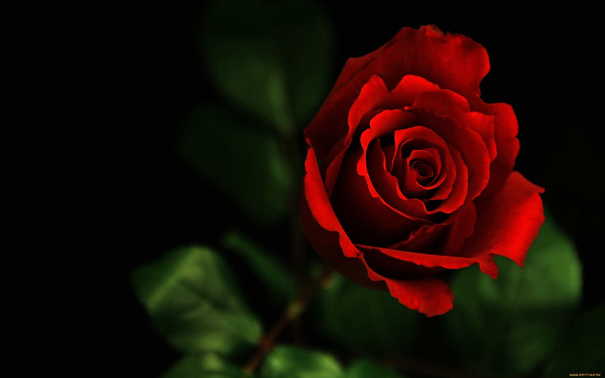 Beautiful Roses Wallpapers