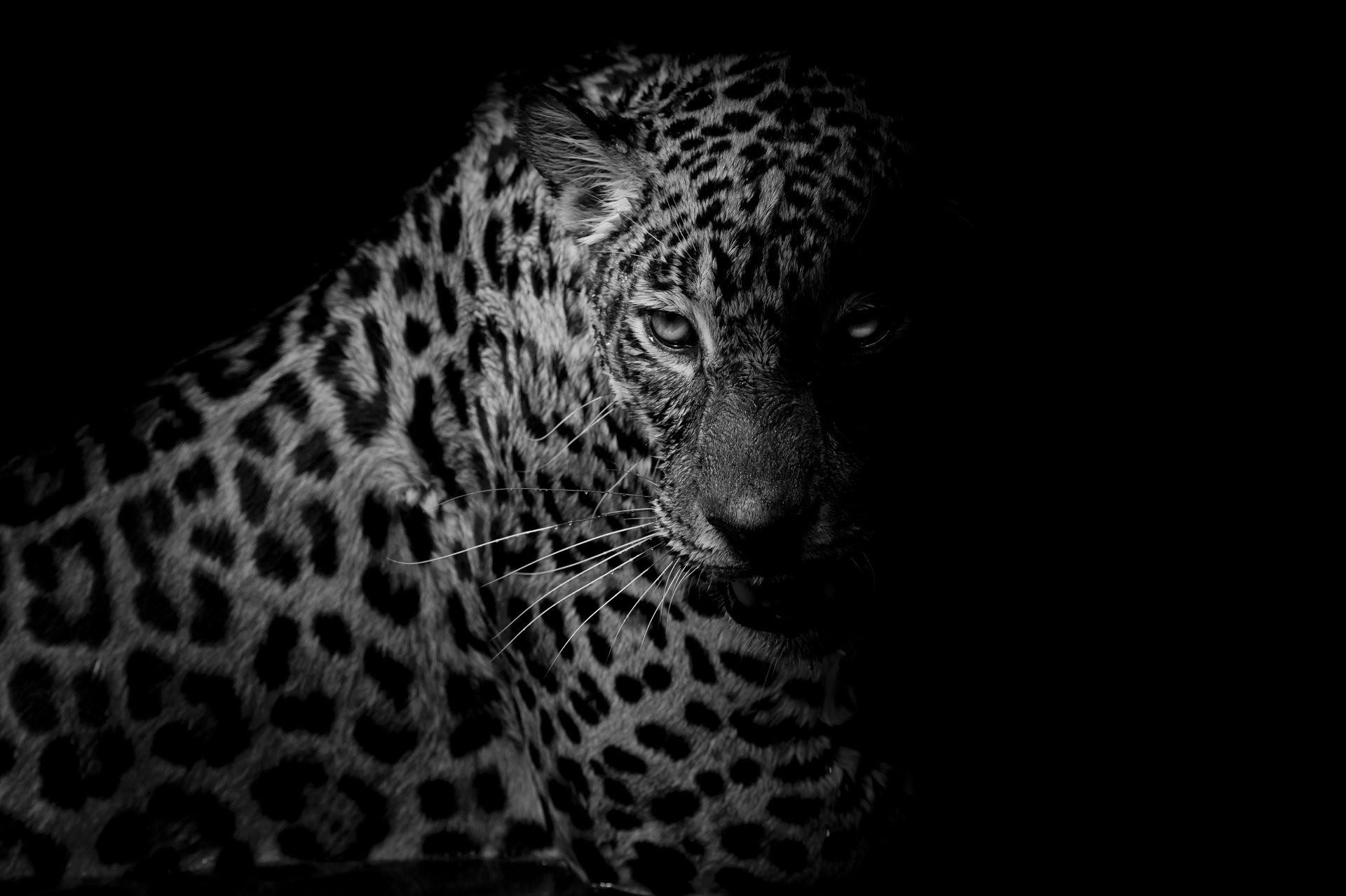Black leopard background wallpapertag - Animal black background wallpaper ...