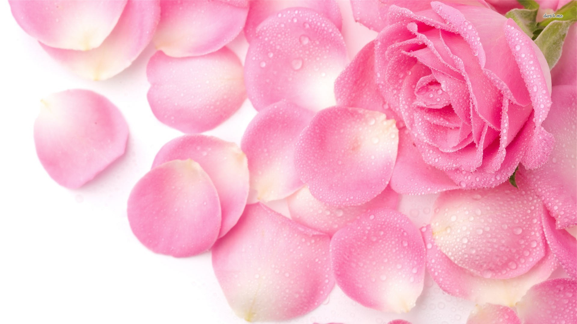 Pink flowers backgrounds wallpapertag - Pink roses background hd ...