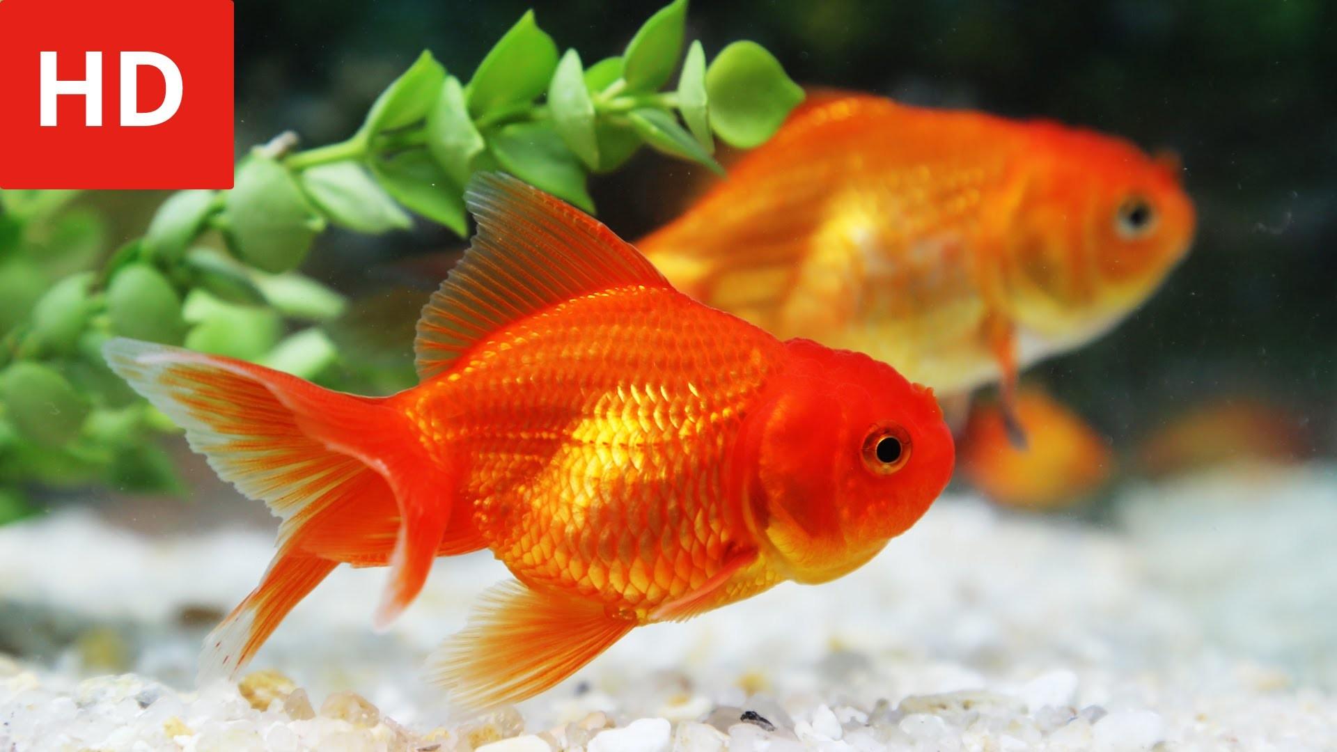 Золотые рыбки на поверхности  № 2075934 без смс