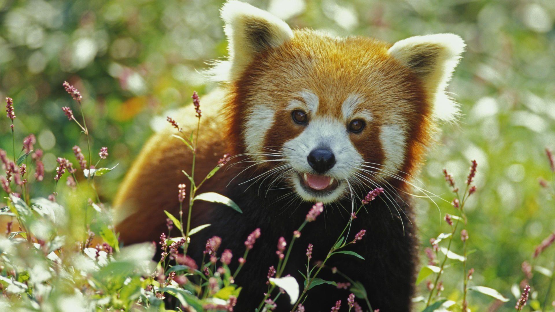 Red Panda Background ·① WallpaperTag