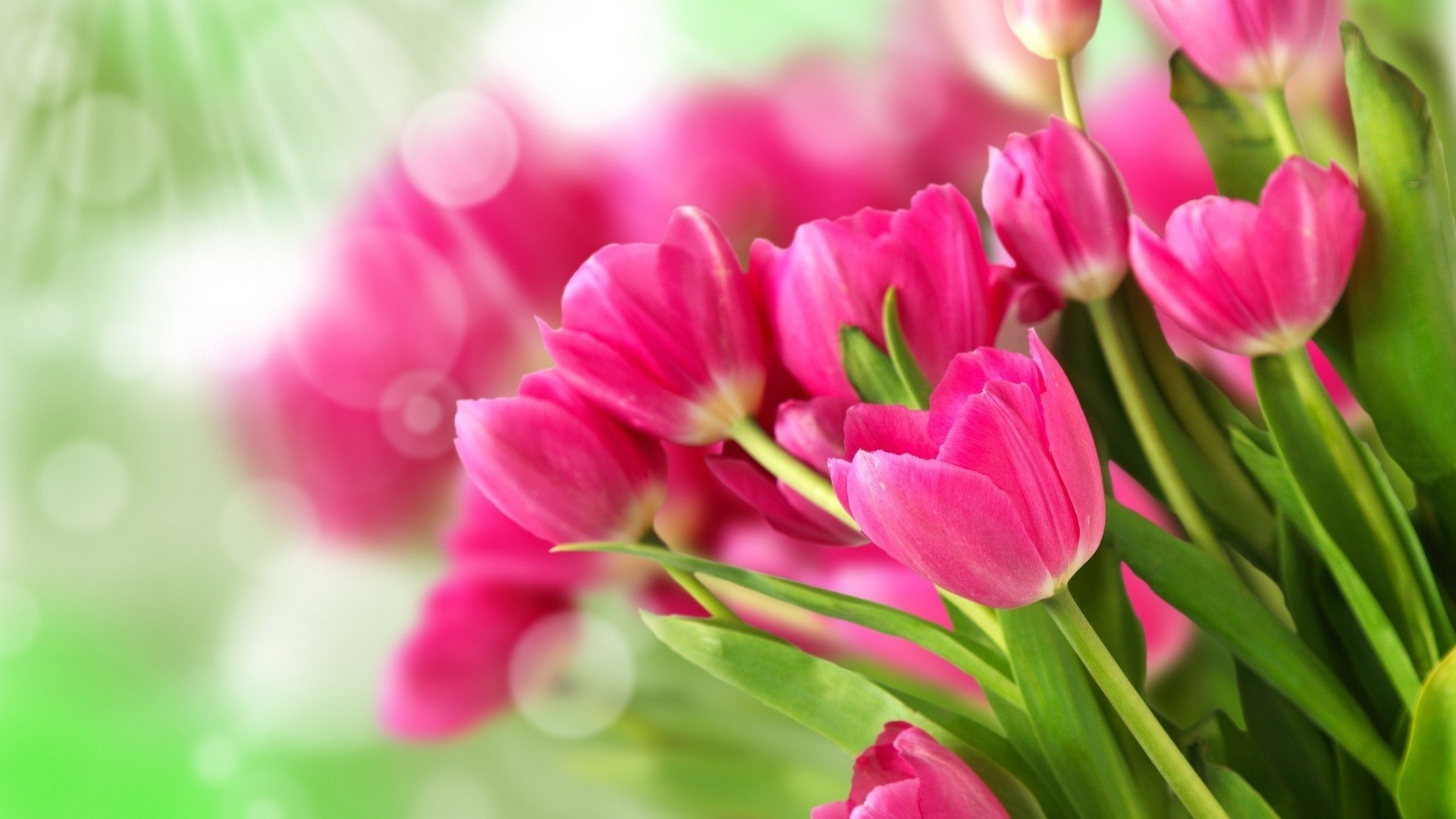 тюльпаны свет цветы  № 736278 бесплатно