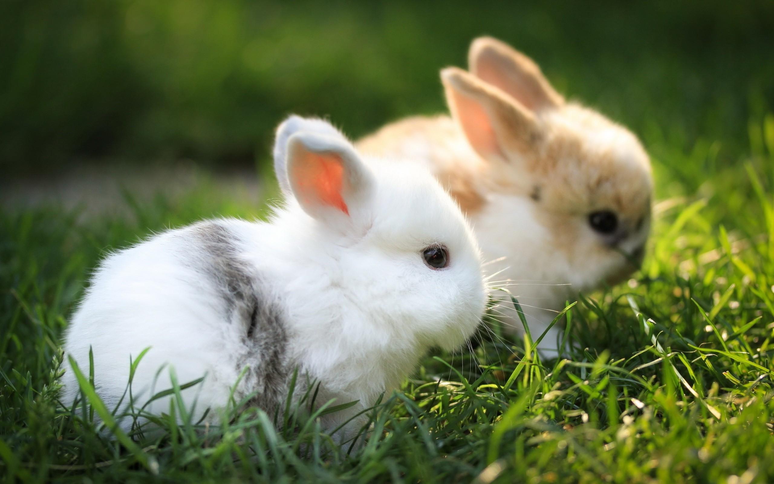 Cute White Rabbit Wallpapers For Desktop