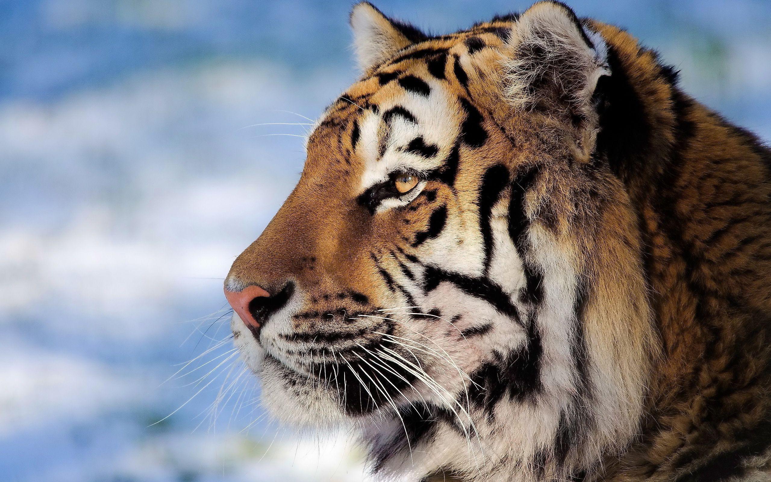 Тигр под пальмой тигр взгляд вверх  № 2081271 без смс