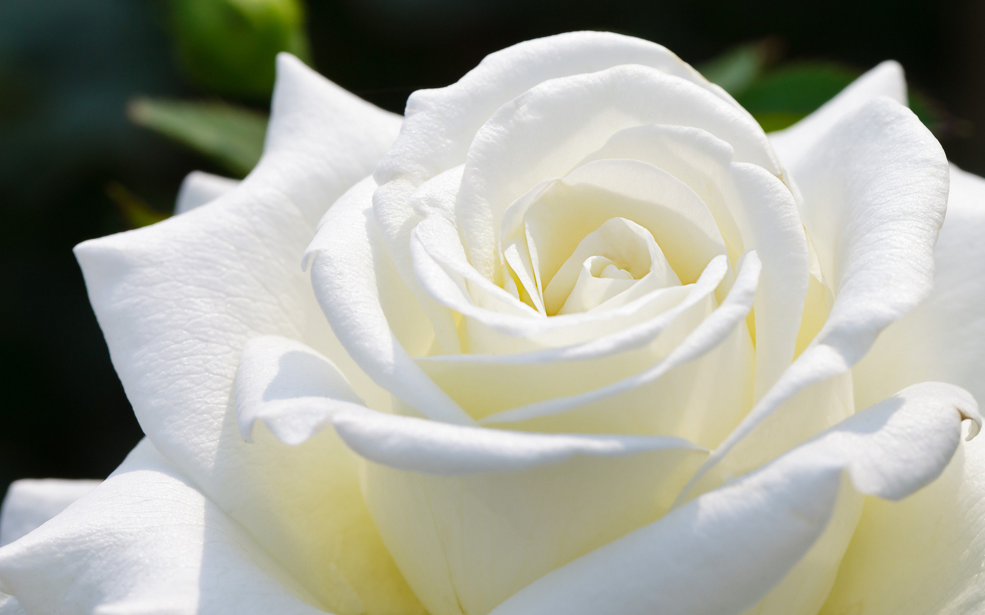 Beautiful pictures of white roses free download latest whatsapp.