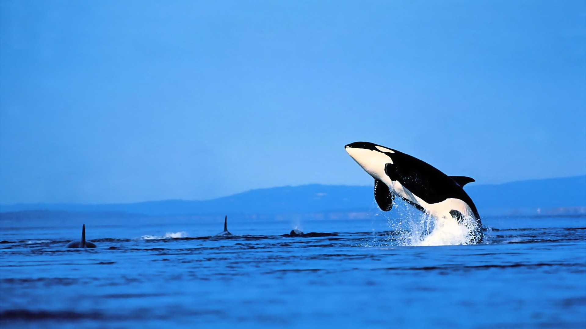 Killer Whale Wallpaper Wallpapertag