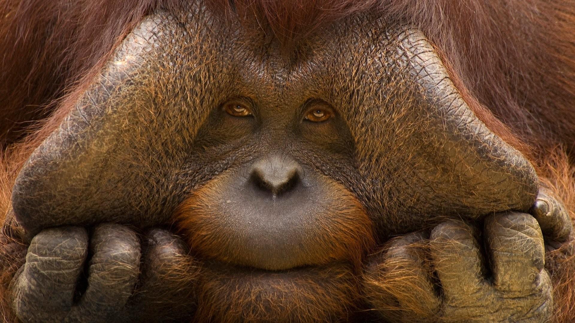 Orangutan Wallpaper ①