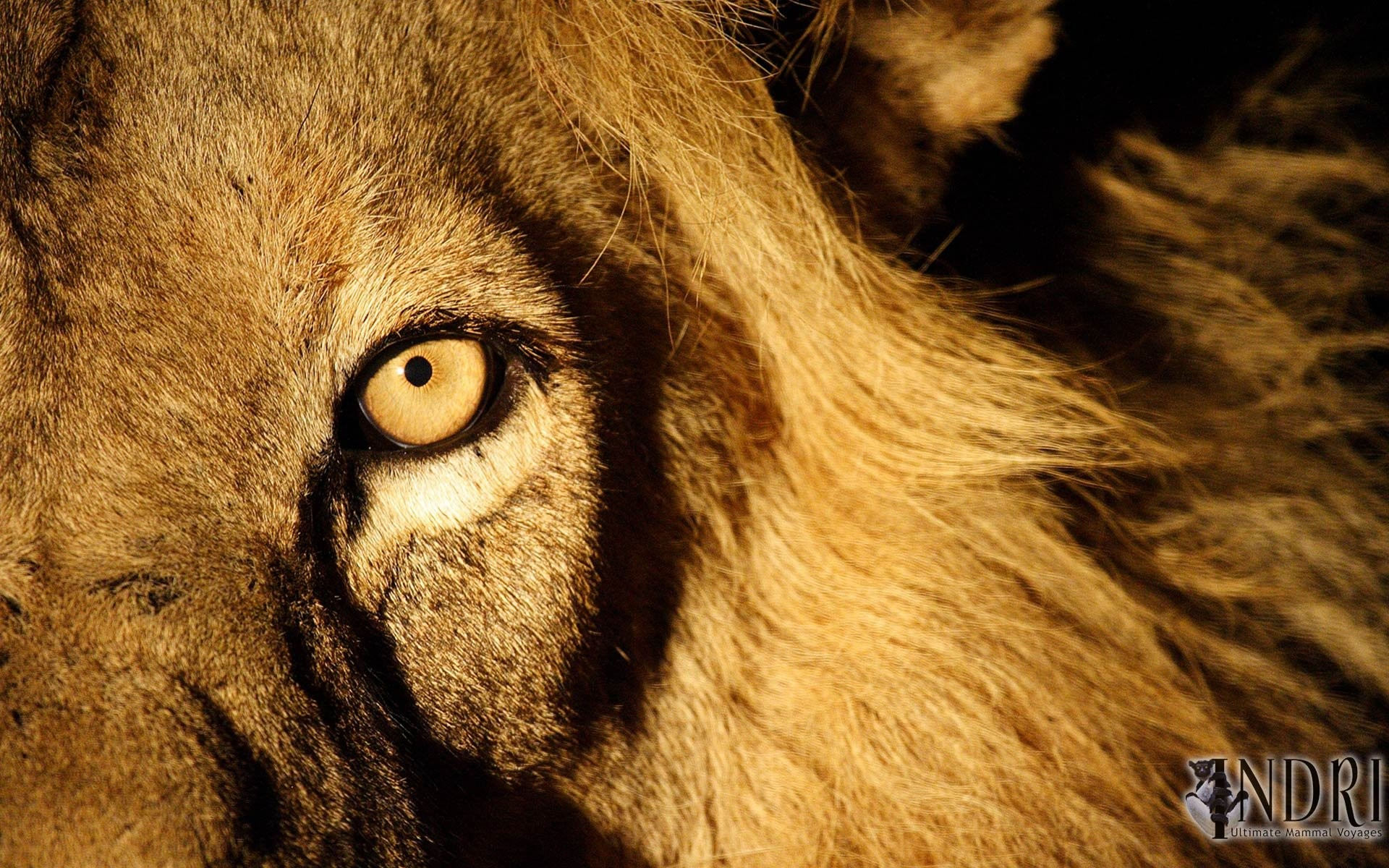 angry lion eyes wallpaper 183��