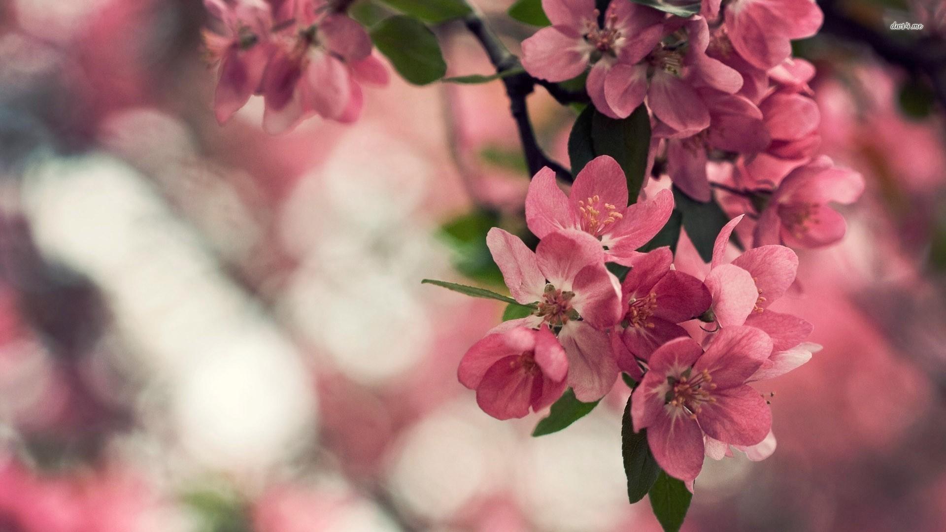 Apple Blossom Wallpaper ·① WallpaperTag