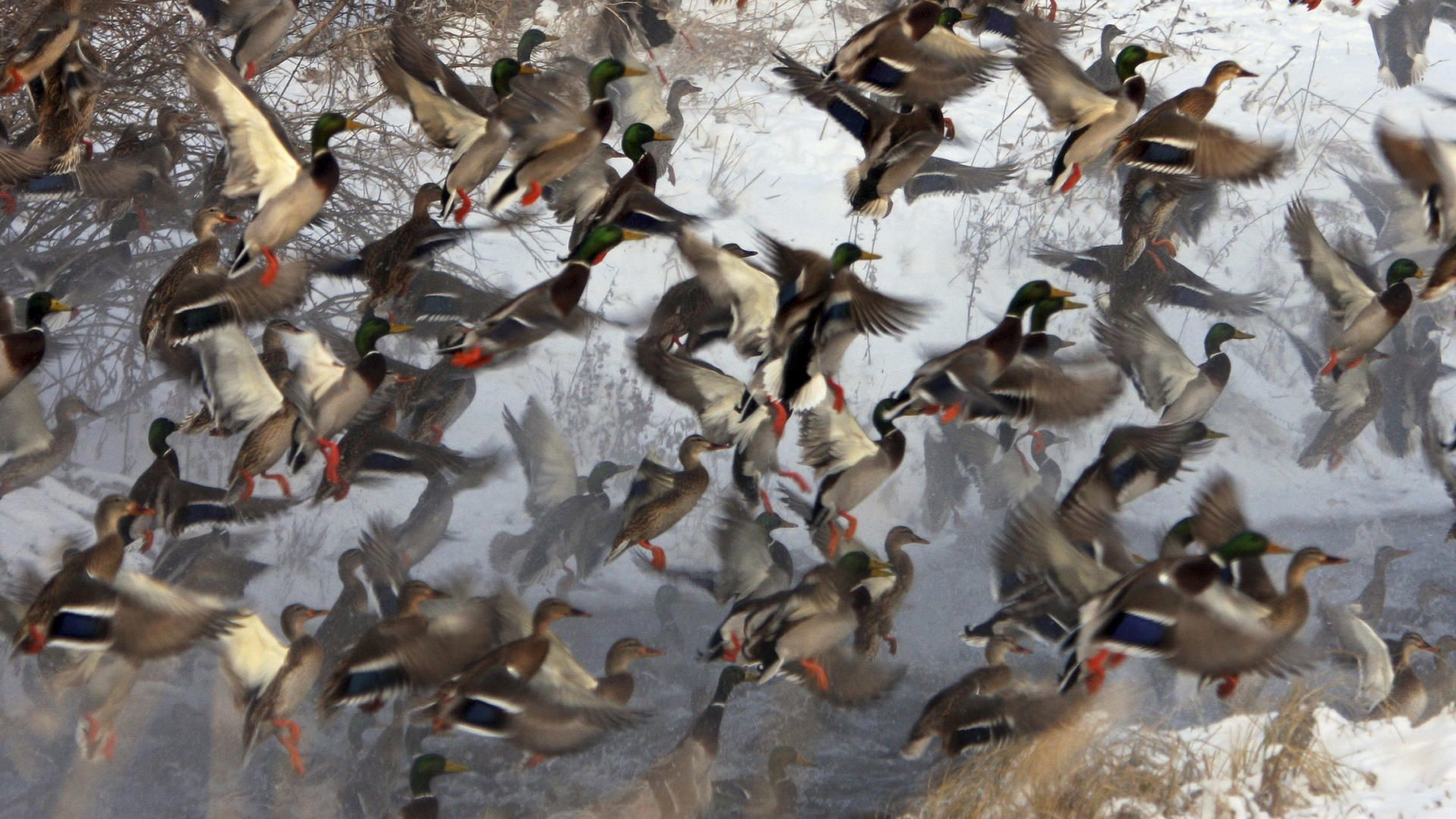 Awesome duck hunting backgrounds the best duck 2018 morning waterfowl hunt spectacular sw swag the voltagebd Images