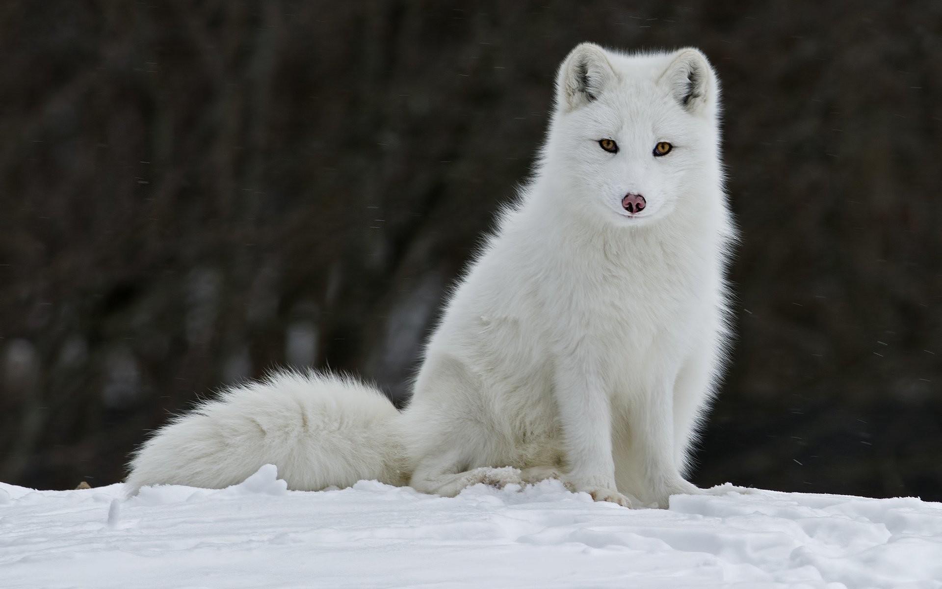 Arctic Wolf Wallpaper ·①