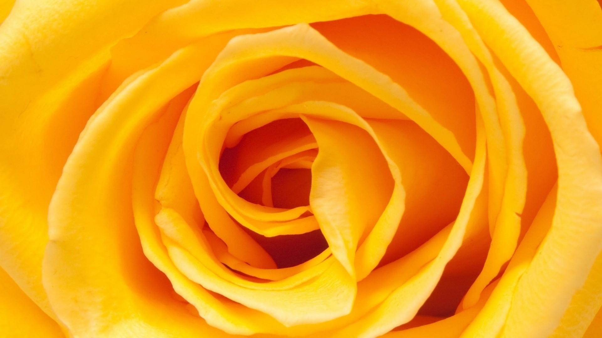 1920x1080 1920x1259 Beautiful Yellow Rose Flower Wallpaper For Desktop