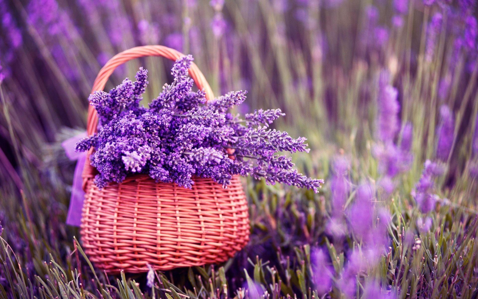 Цветы природа лаванда  № 1352131  скачать
