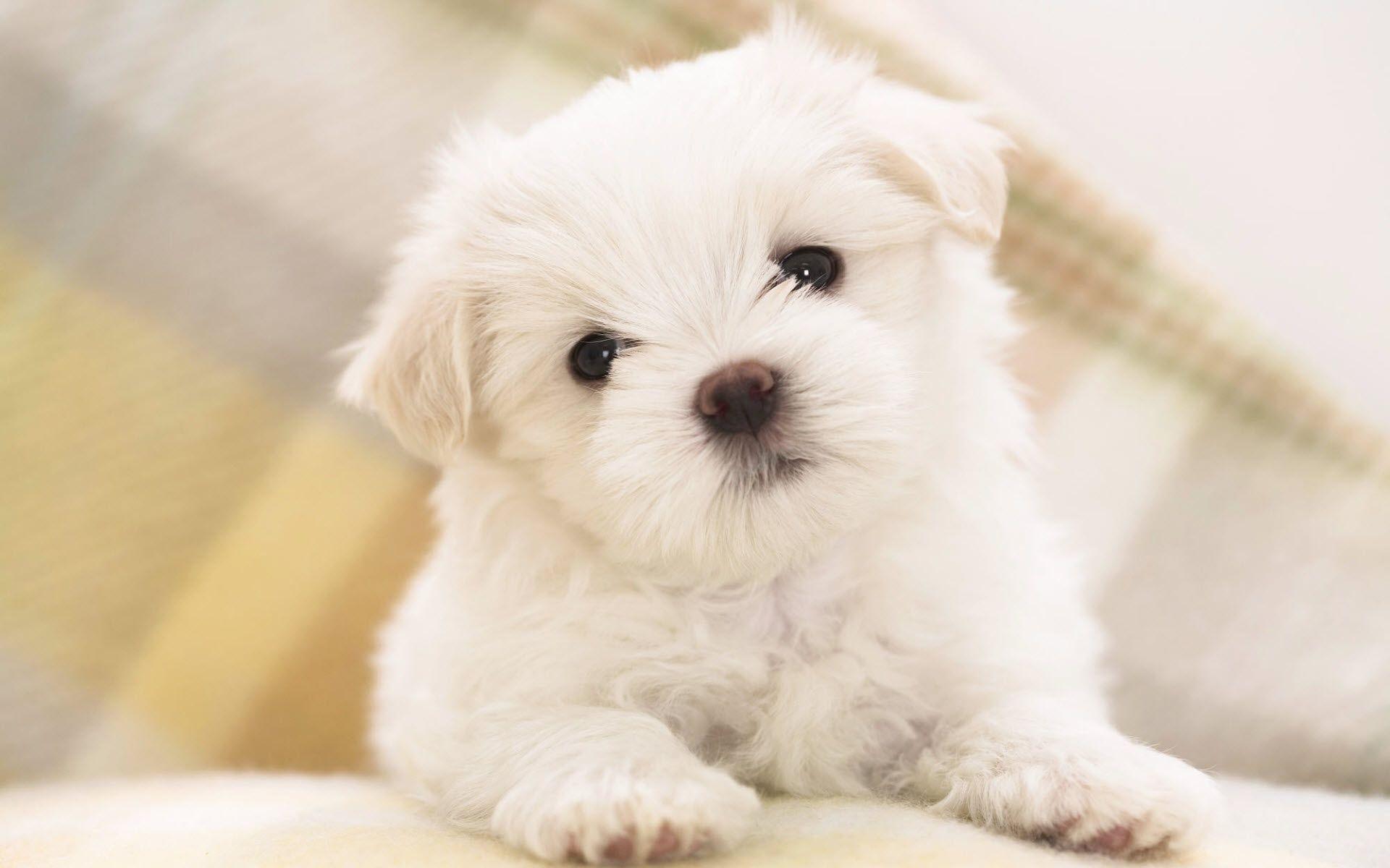 1920x1200 Maltese Puppy Animal Wallpaper