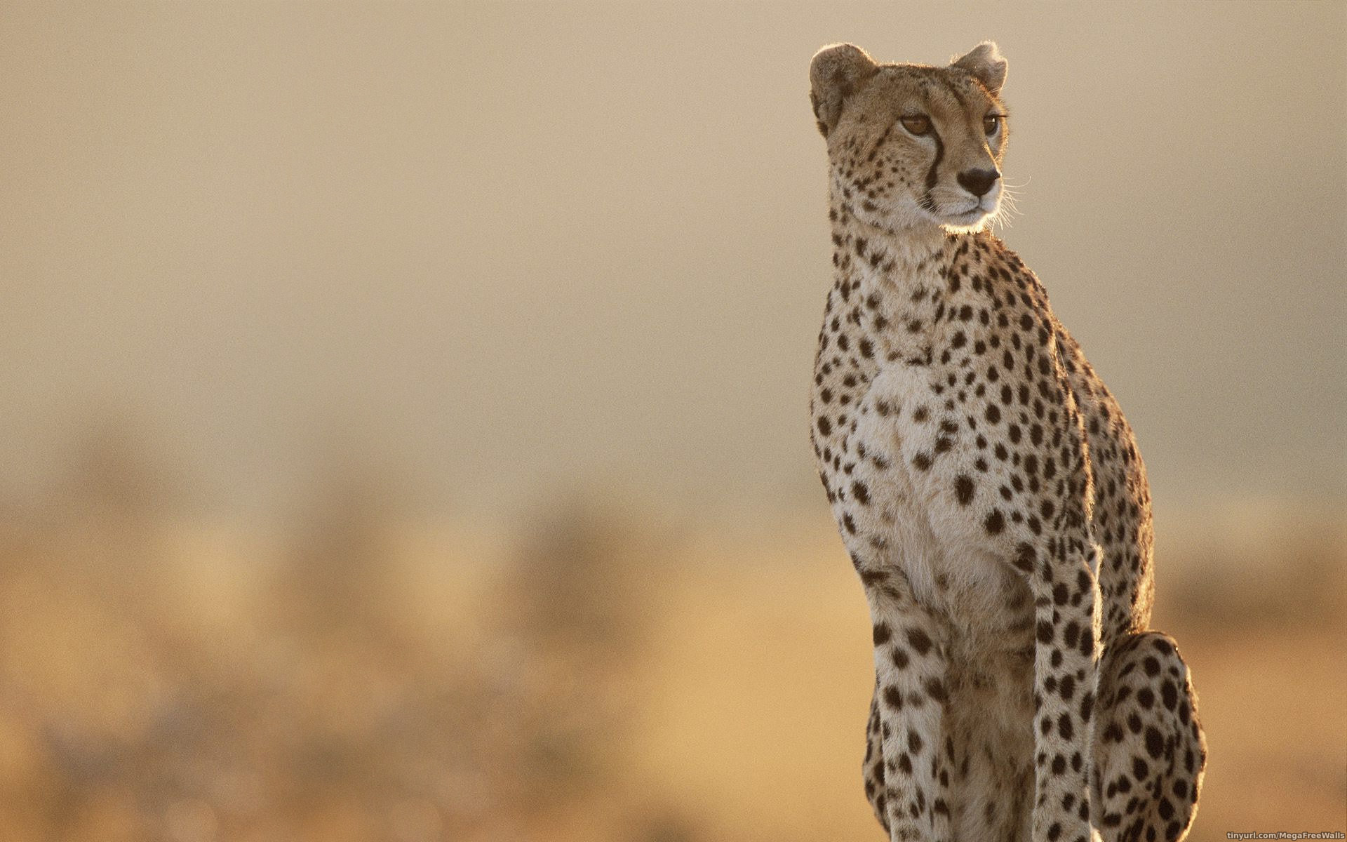 Wallpaper Cheetah Pair Hd Animals 6057: Cheetah Wallpaper HD ·① WallpaperTag