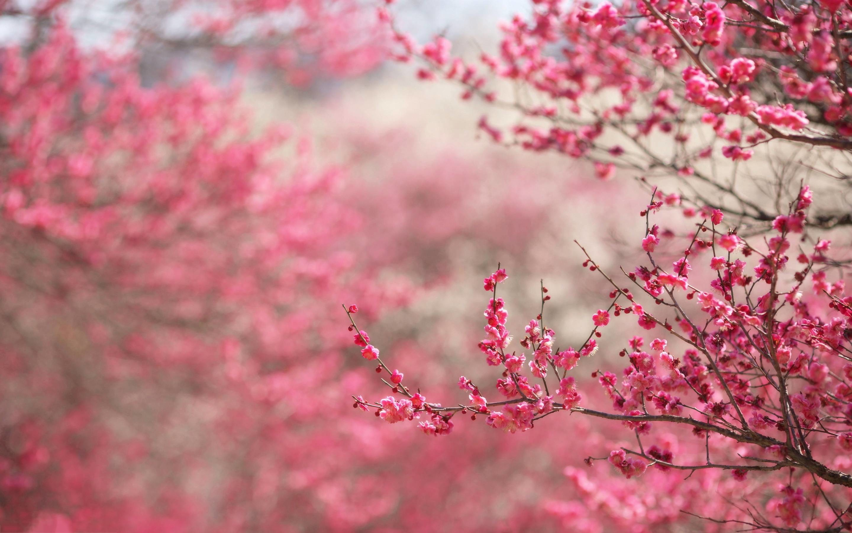 2880x1800 Wallpapers For Pink Cherry Blossom Backgrounds