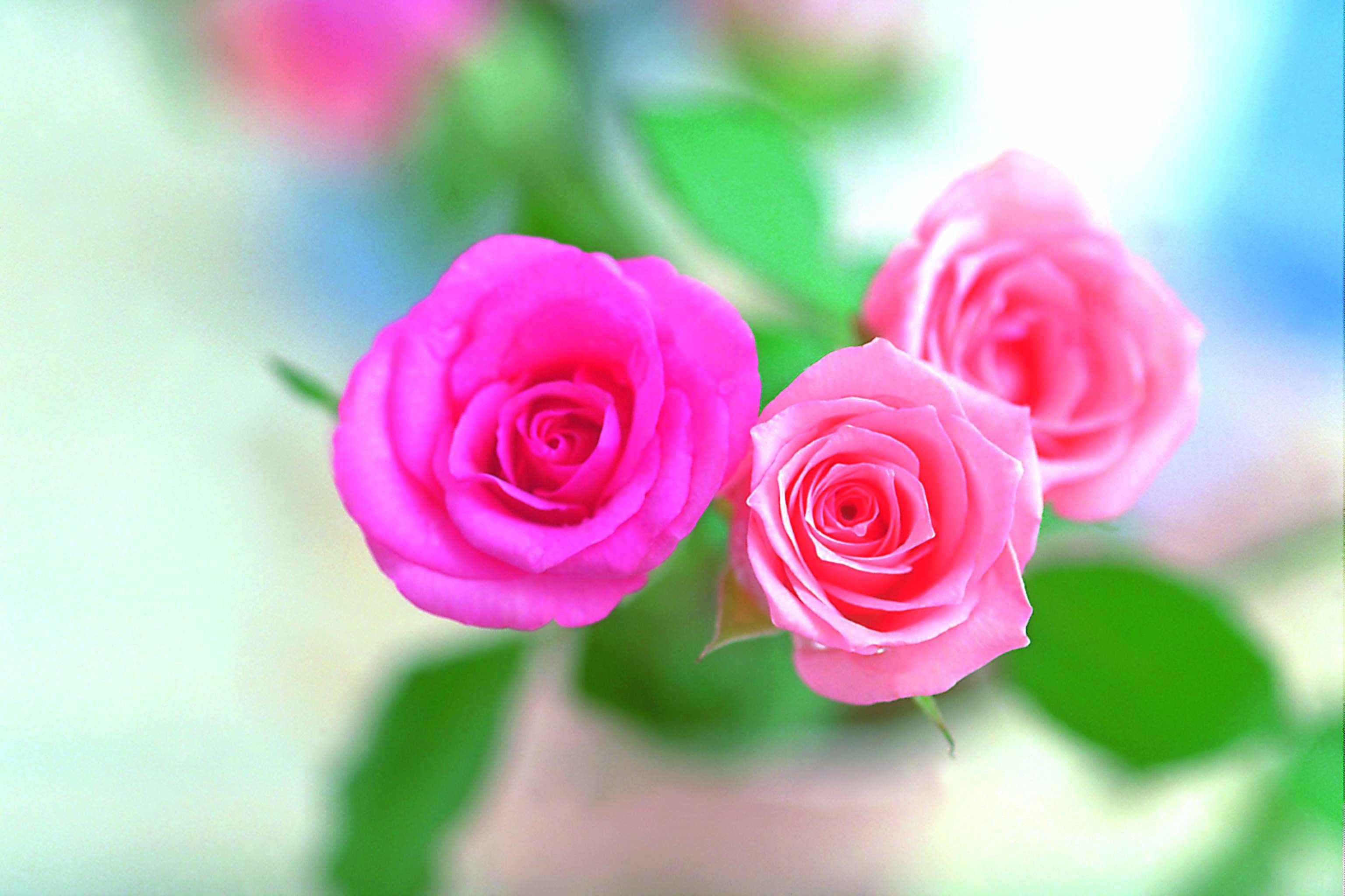 Rose flower wallpaper hd wallpapertag - Pink rose hd wallpaper ...