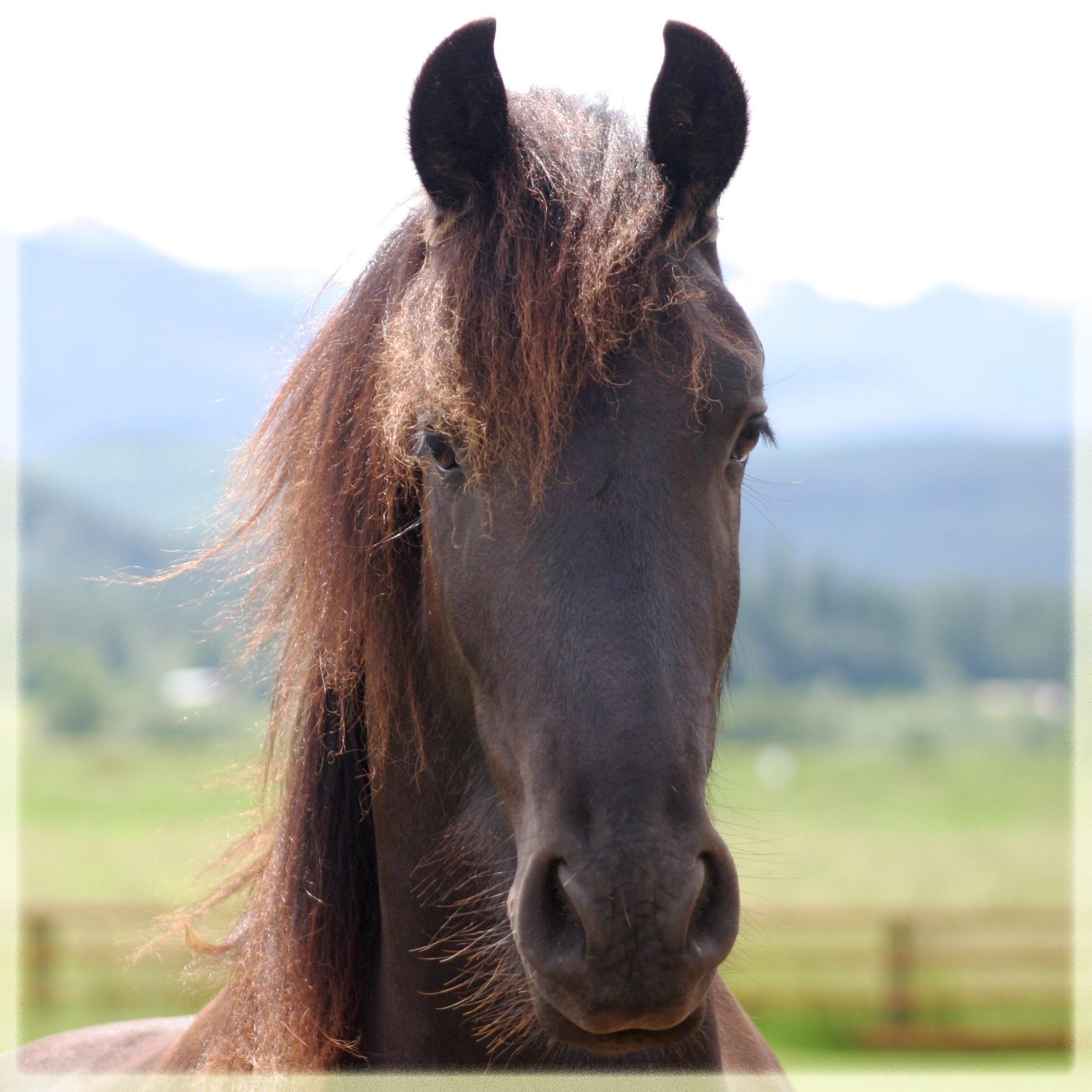 Horse: Friesian Horse Wallpaper ·① WallpaperTag