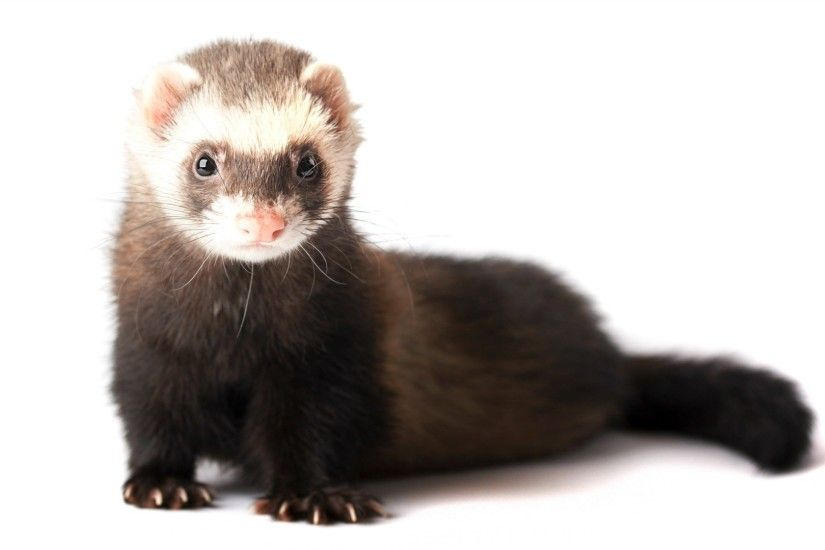 ... Images Gallery of animals in the ferret family Photos also see They  typically have brown, black, white, or mixed fur Ferret Animals Pics HD  Wallpapers ...