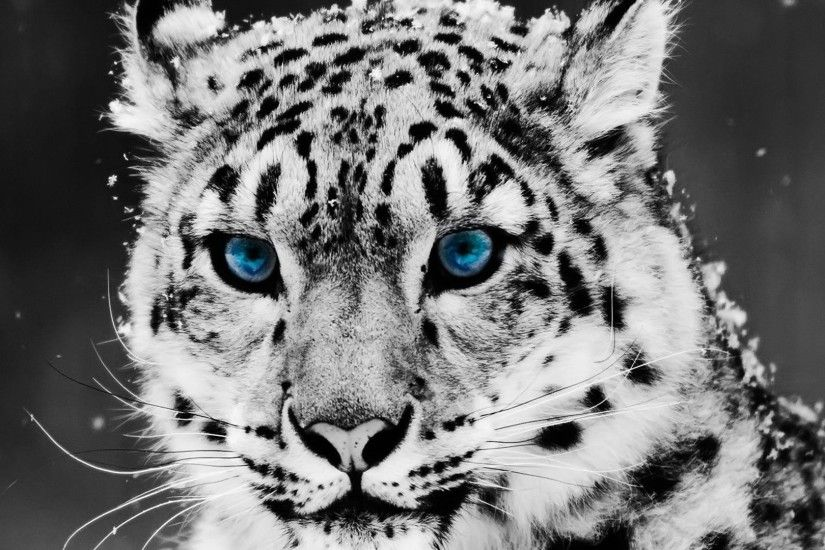 White Tiger Wallpapers | Amazon Walls