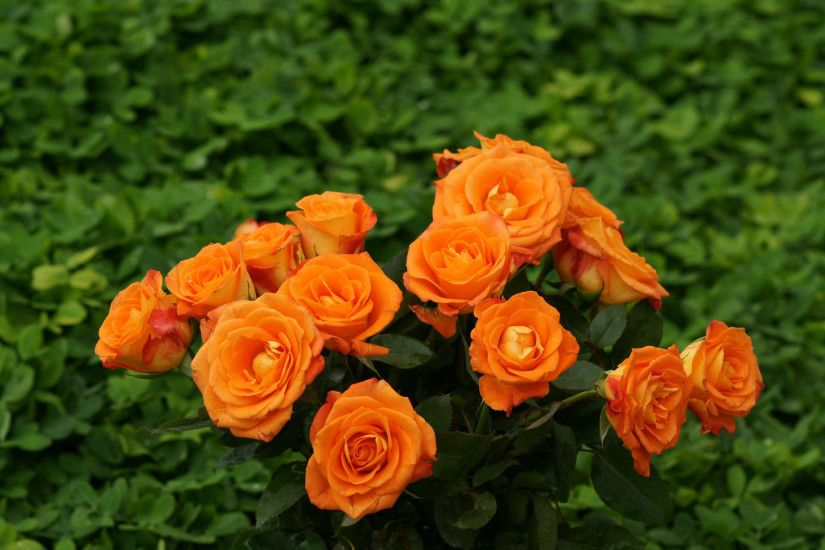 Orange Roses Wallpaper HD Picture
