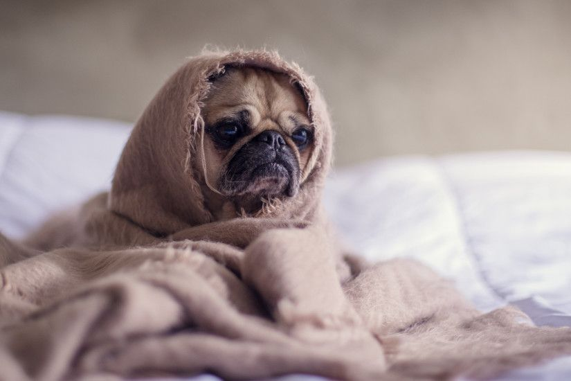 Preview wallpaper pug, dog, blanket 1920x1080