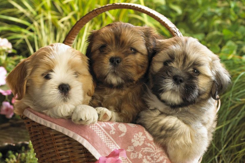 Cute Puppies in a basket Wallpaper