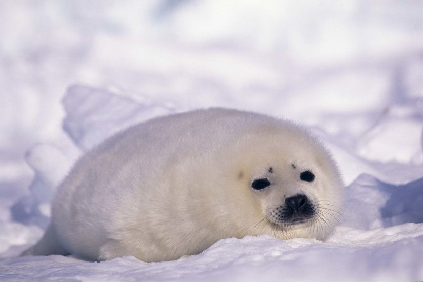 ... Backgrounds Galleries | PDL-6450701 Seal Wallpapers