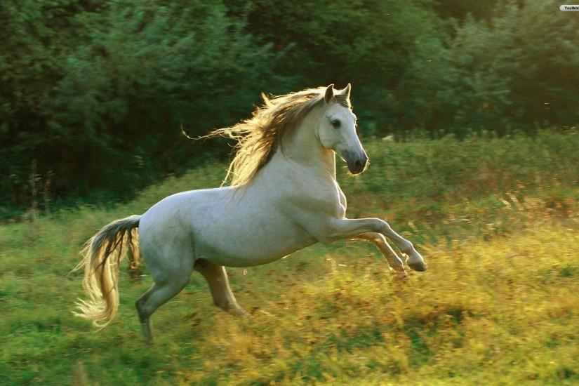 Horse White Image Free Wallpaper #935 Wallpaper computer | best .