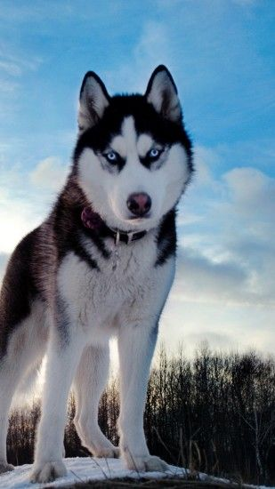 Preview wallpaper husky, dog, hill, snow 1440x2560