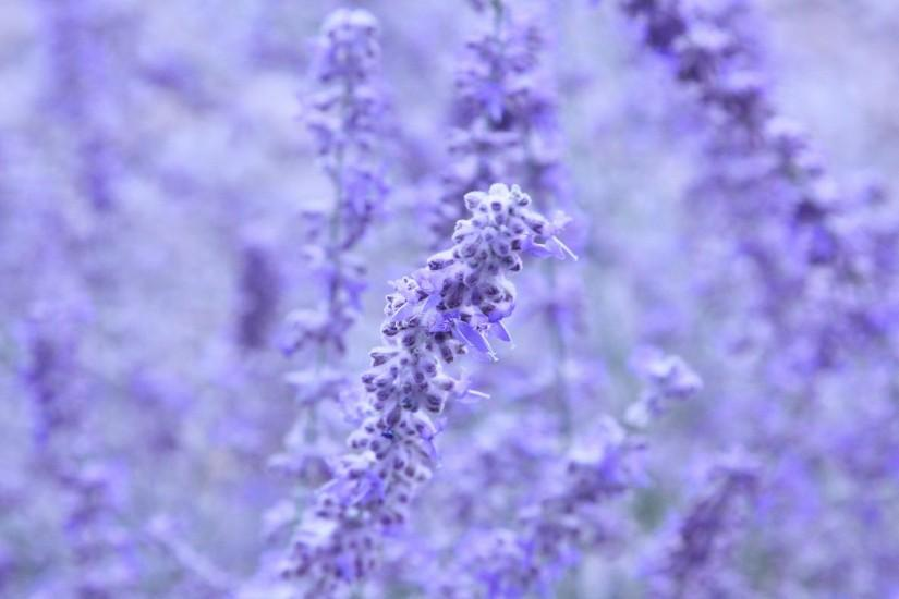 free lavender background 1920x1200