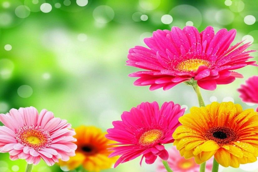 Gerbera Daisies White Flowers Wallpaper Zellox | HD Wallpapers .