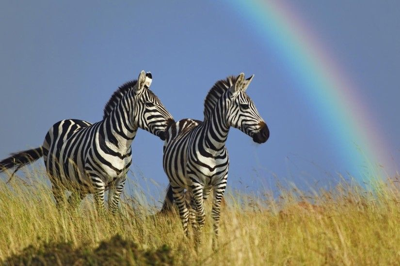 Zebra-backgrounds-free-download