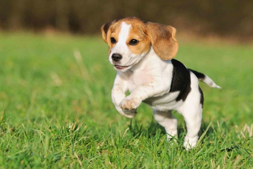 Beautiful beagle puppy jumping wallpapers and images - wallpapers .