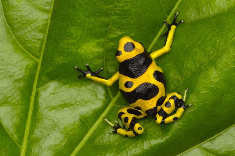 Animal - Poison dart frog Wallpaper