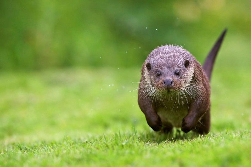 Otter widescreen