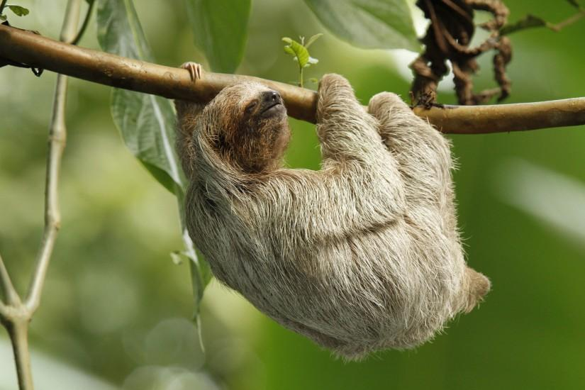 funny sloth animals hd wallpaper Car Pictures
