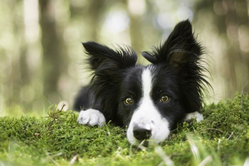 border collie dog face view moss