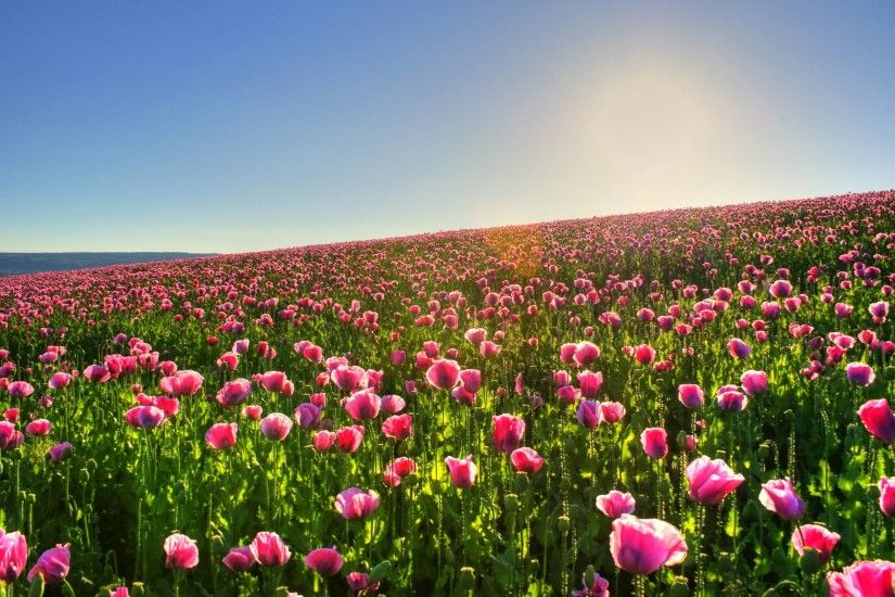 ... Tulip Wallpapers - Wallpaper Cave Tulips Flower Garden ...