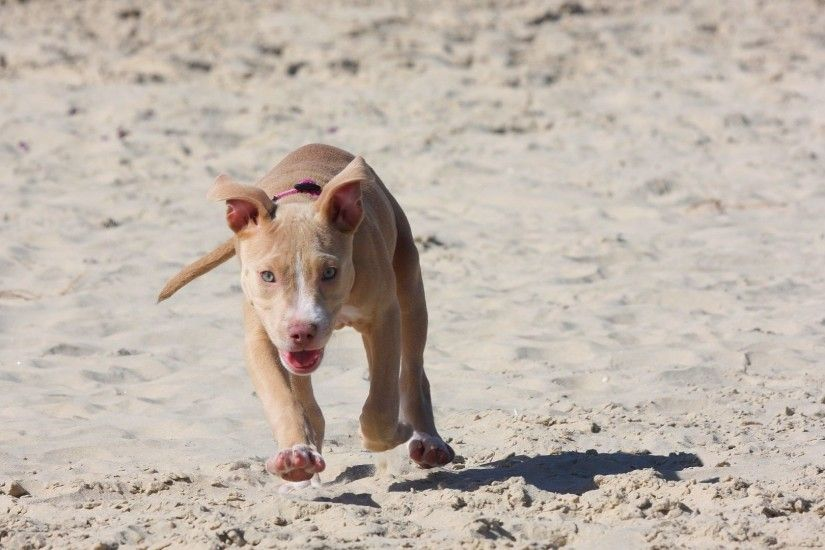 1920x1080 Wallpaper pitbull, puppy, dog, sand, run