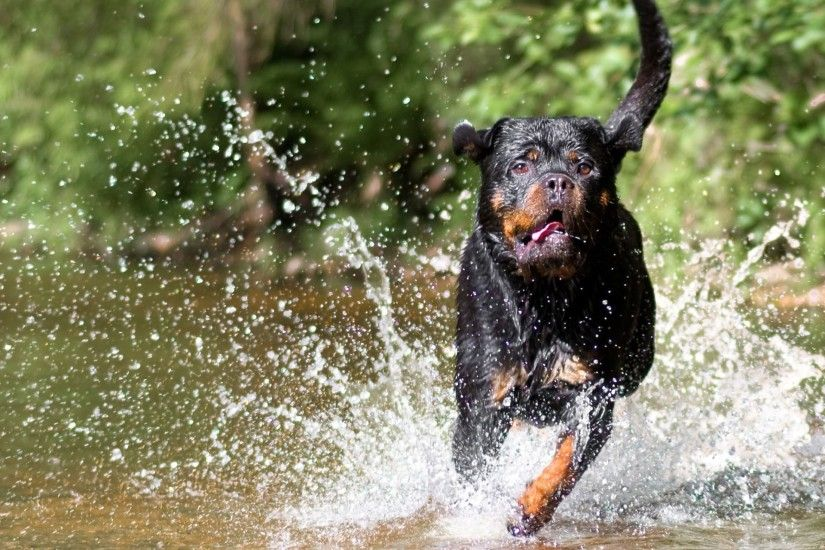 Rottweiler Dog Running Wallpaper 15580