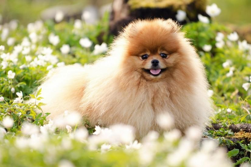 Pomeranian Baby Dog Background