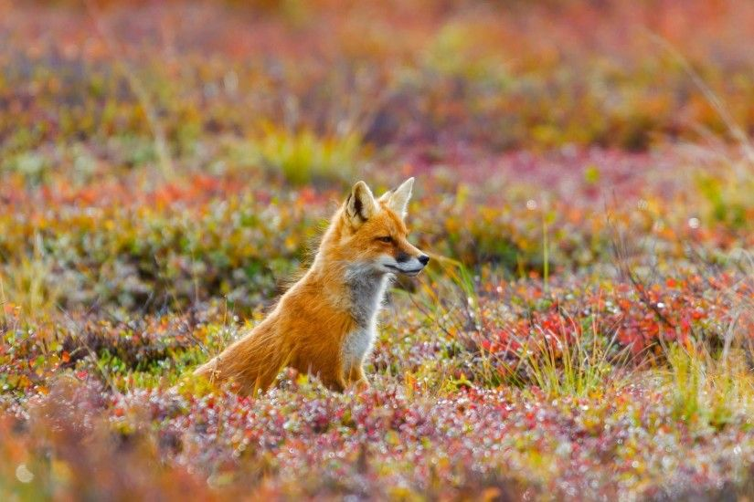 Picture of the day for June 22 2017 at by Bing; Red fox in Denali National  Park and Preserve Alaska ( Michael DeYoung/Design Pics/Getty Images)