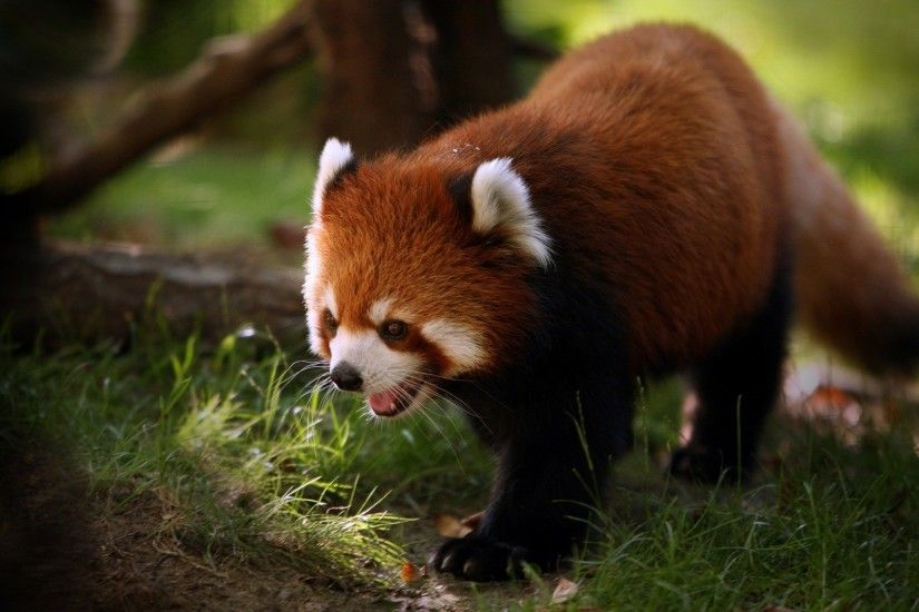 Lesser Panda Wallpaper Bears Animals Wallpapers