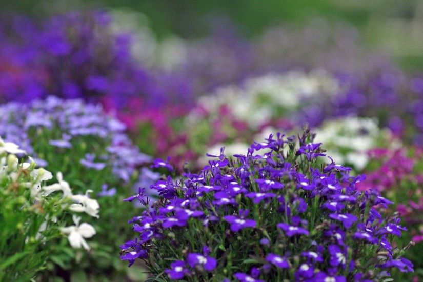 Violet Flowers Desktop Backgrounds