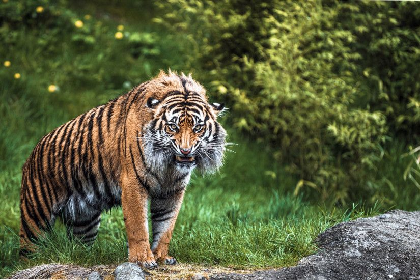 Download Wallpaper 720x1280 Tiger face, Aggression, Teeth, Lines .