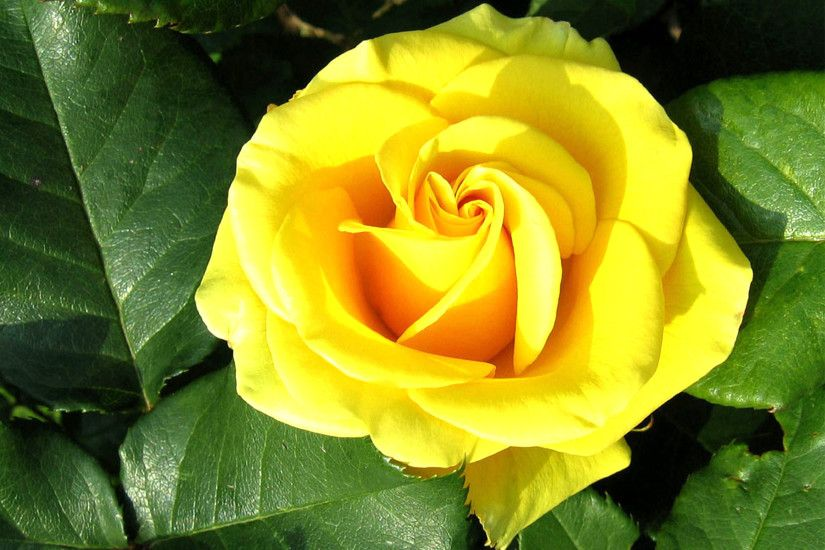 Yellow Rose Flower Wallpaper With Green Leaves