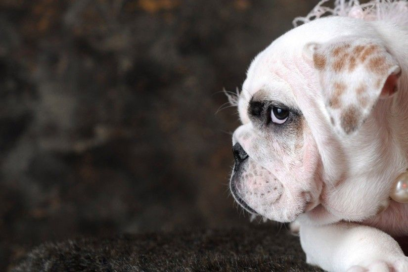 english-bulldog-with-pearls- .